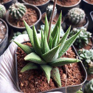 Haworthia aloe spiky