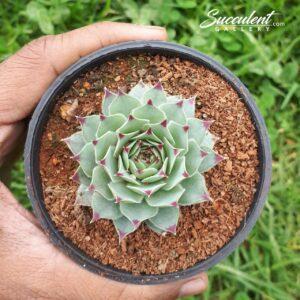 Sempervivum cacareum ( Small )