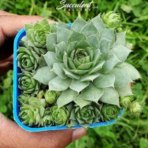sempervivum tectorum Multi Plants