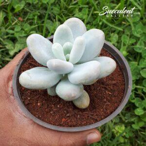 Moon Stone / Pachyphytum oviferum