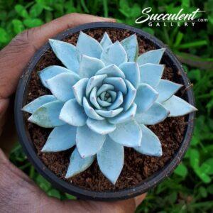 echeveria blue bird