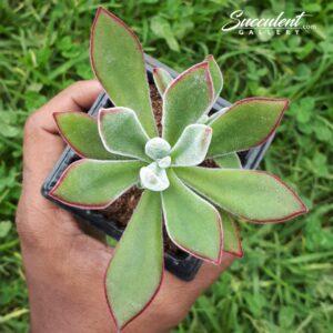 Echeveria harmsii 'Push plant'
