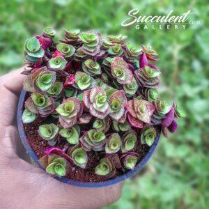creeping inch plant