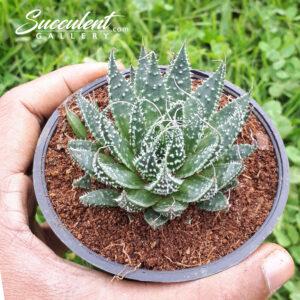 Lace Aloe 'Aloe aristata'